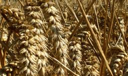 Cereal crops